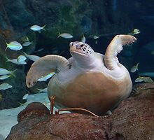 Green Sea Turtle by Kathy Baccari