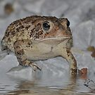 The Toad by Kathy Baccari