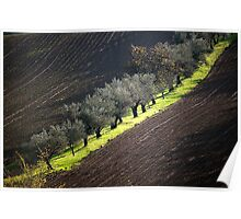 olive trees in hills of romagna Poster