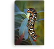 Hyles euphorbiae caterpillar Canvas Print