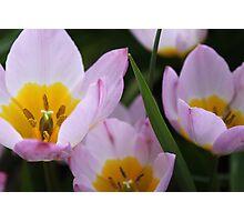 Purple Tulips Flowers in Van Dusen Garden, Vancouver Photographic Print