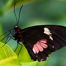 Doris - Heliconius Doris by Robin Webster