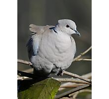 Grumpy pigeon Photographic Print