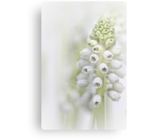 White Grape Hyacinth II Canvas Print