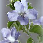 Bush Violet - Barleria obtusa  by Rina Greeff