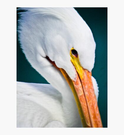 Wise Pelican in Repose Photographic Print