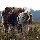 Cattle by JenniferLouise