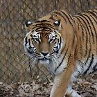 Tiger Tiger by JohnBuchanan
