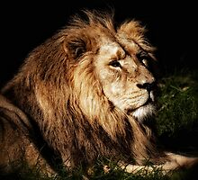 Proud Lion by Matt Sillence