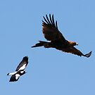 Hot on your Tail Magpie to Wedge Tailed Eagle by Kym Bradley