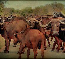 A BUFFALO GATHERING - The Buffalo - Syncerus caffer - BUFFEL by Magriet Meintjes