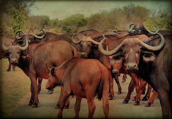 A BUFFALO GATHERING - The Buffalo - Syncerus caffer - BUFFEL by Magaret Meintjes