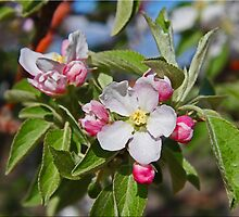 Budding Peaches by Chet  King