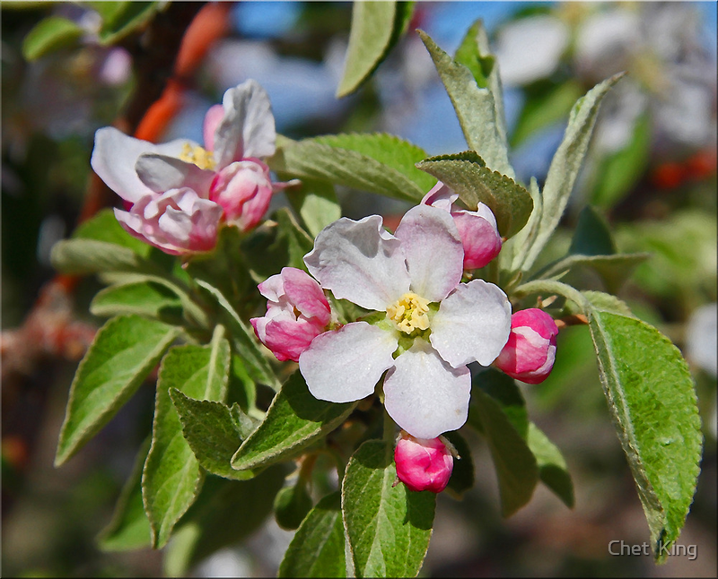 Budding Peaches by Chet  King