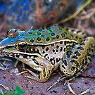 Backyard Frog (2) by michaelasamples