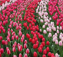 Keukenhof garden red tulips by kirilart