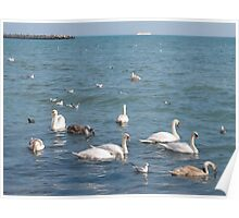 Swans on the sea coast Poster