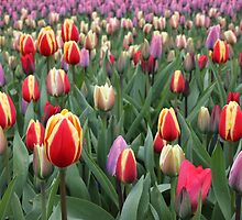 Colorful Tulips in Keukenhof Gardens by kirilart
