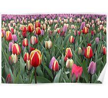Colorful Tulips in Keukenhof Gardens Poster