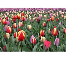 Colorful Tulips in Keukenhof Gardens Photographic Print