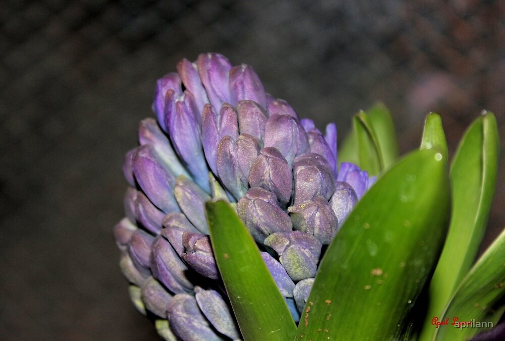 Hyacinth by aprilann