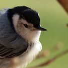 Portrait of a Nuthatch by Bine