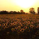 Sunflowers field on Sunset by kirilart