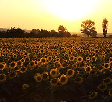 Sunflowers field on Sunset by kirilart