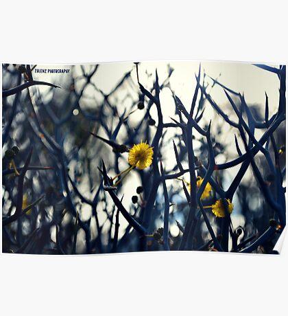 Spiky Wattle Poster