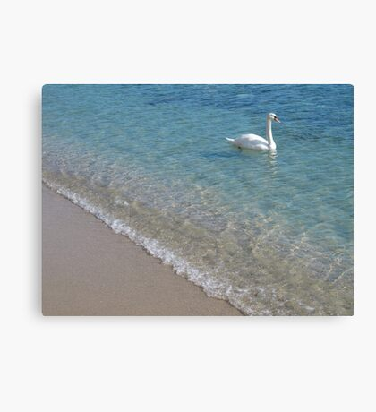 Swan in crystal clear shallow sea water Canvas Print