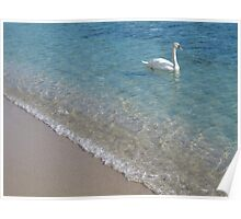 Swan in crystal clear shallow sea water Poster