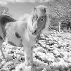 Snow Ponies by Smart Imaging by SmartImaging