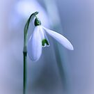 Silky Snowdrops II by Bob Daalder