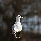 Lone Gull by JohnBuchanan