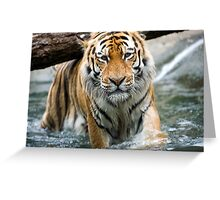 Tiger in the water Greeting Card