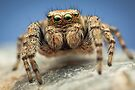 Evarcha hoyi male jumping spider by Mario Cehulic