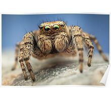 Evarcha hoyi male jumping spider Poster