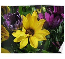 Colourful Cape Daisies Poster