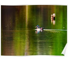 Wood Duck Swimming in some Backwater Poster