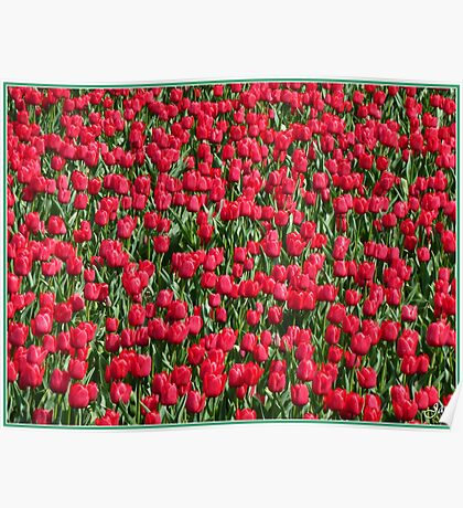 Dutch Tulip field Poster
