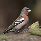 Male chaffinch by Peter Wiggerman