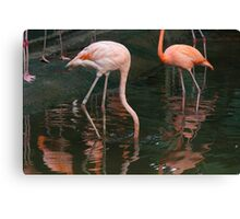 A Flamingo with its head under water in the Jurong Bird Park in Singapore Canvas Print