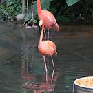 A Flamingo in the small lake in their exhibit in the Jurong Bird Park by ashishagarwal74