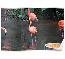 A Flamingo in the small lake in their exhibit in the Jurong Bird Park Poster