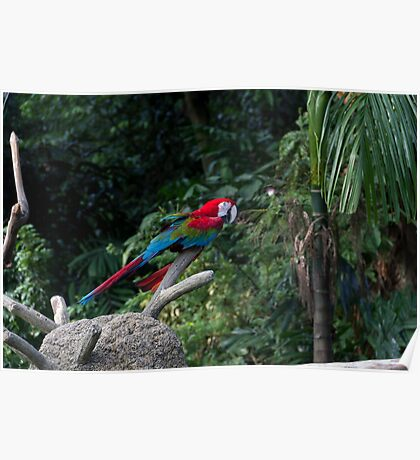 A red, green and blue Macaw on a branch Poster