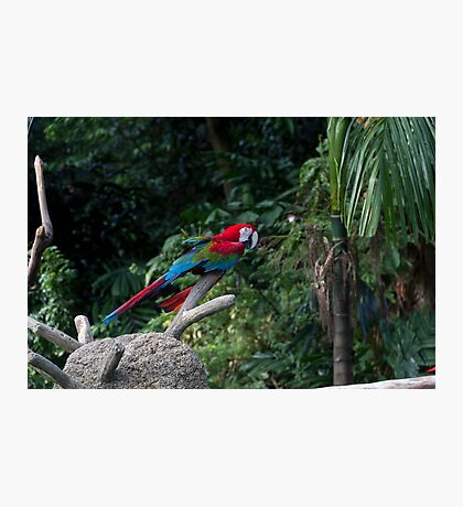 A red, green and blue Macaw on a branch Photographic Print