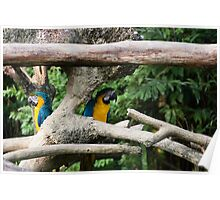 2 Macaws framed by tree branches Poster