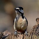 female great spotted woodpecker by Nicole W.