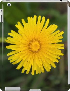 Dandelion Beauty by Orla Cahill Photography