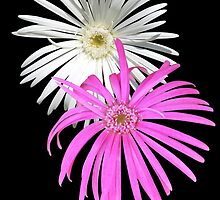Gerbera 6 by Fred1947